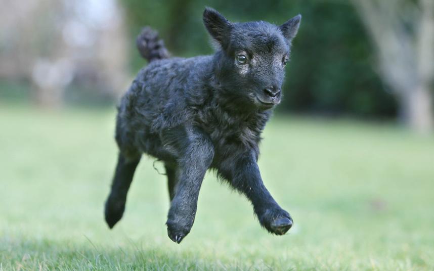 PsBattle- Levitating black baby lamb