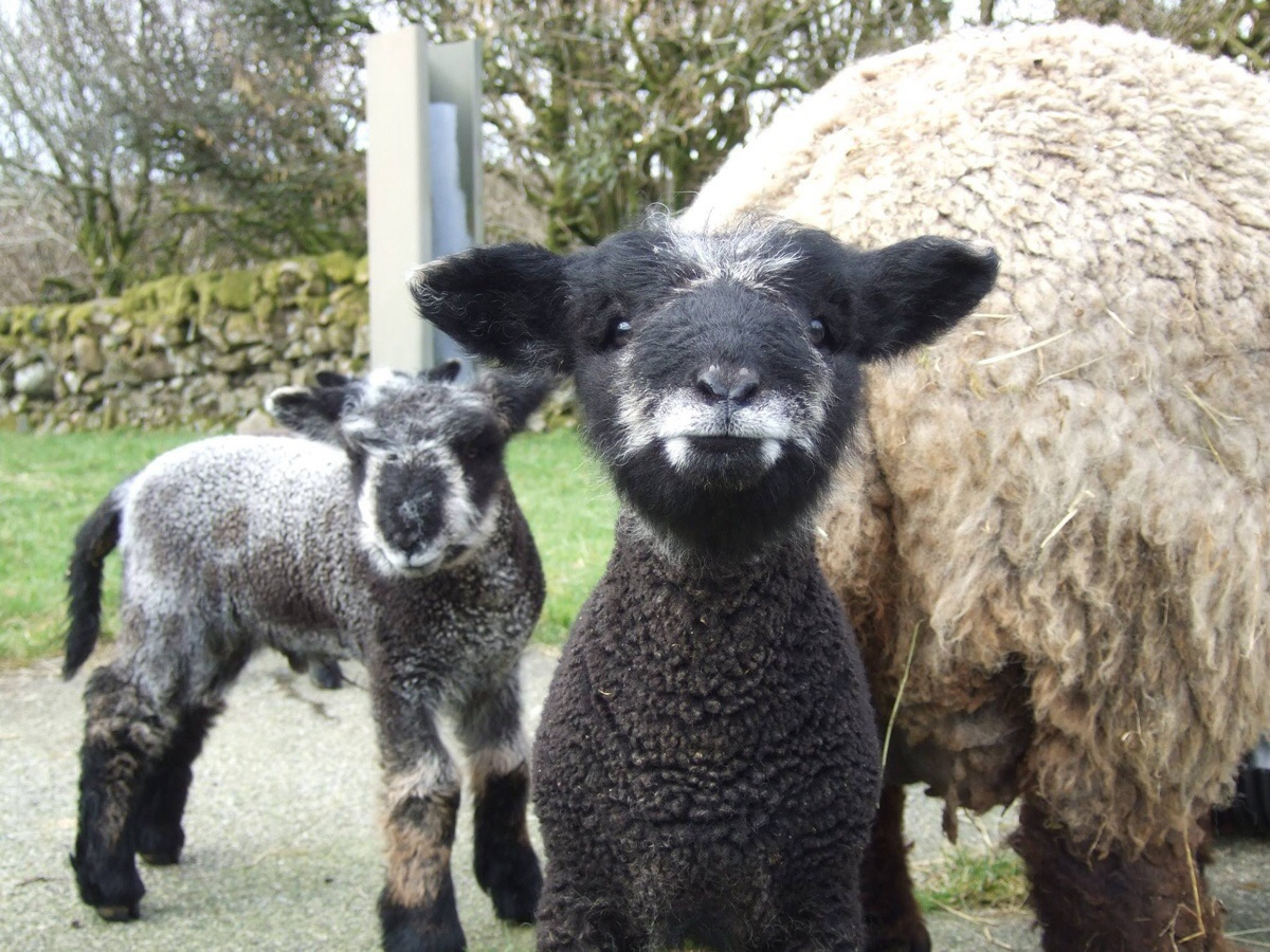 Vampire lamb, a coloured Ryelands bred by a friend.
