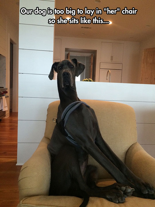 cute-huge-dog-sitting-chair
