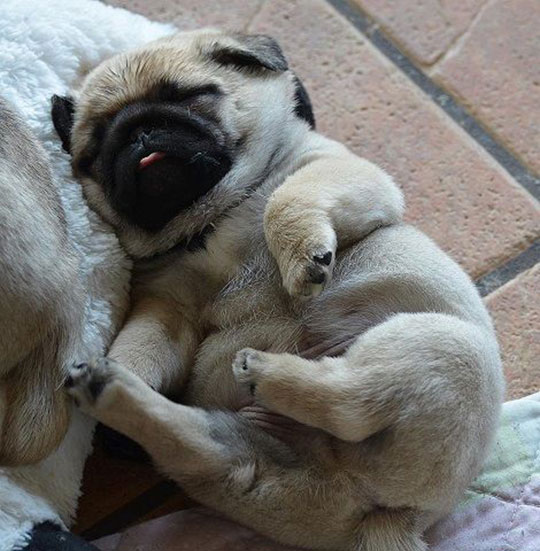 cute-pug-sleeping-puppy-chubby