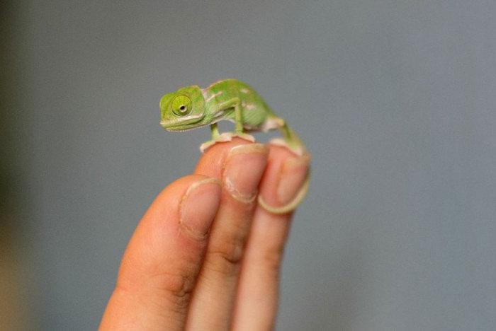 cute_baby_chameleons_04