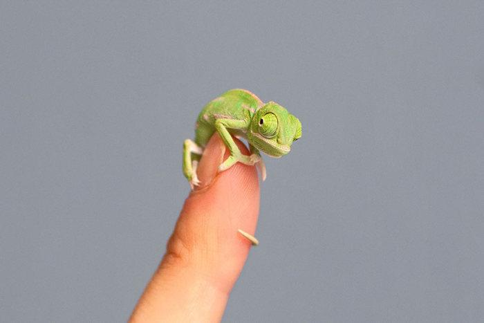 cute_baby_chameleons_06