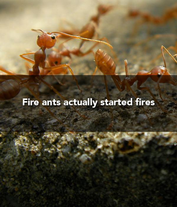 fireants