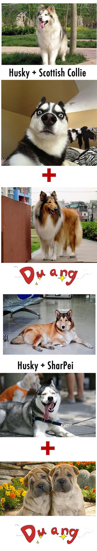 funny-Husky-hybrid-Labrador-Retriever-Collie