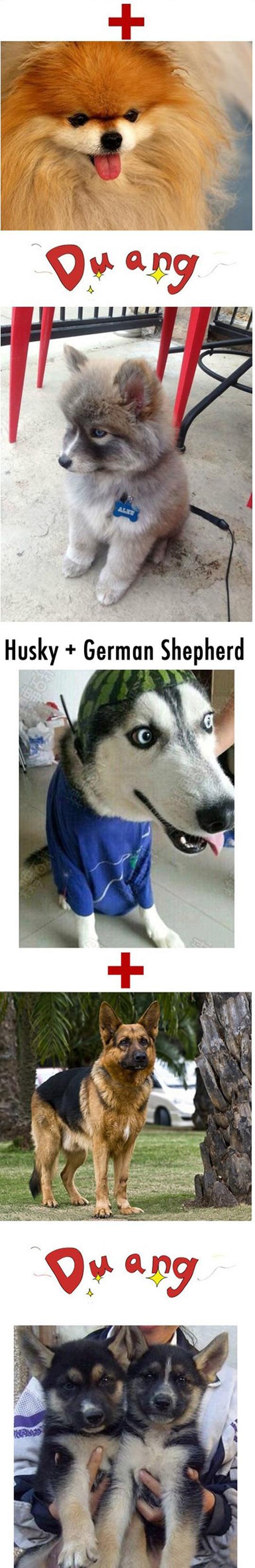 funny-Husky-hybrid-Labrador-Retriever-Shepherd