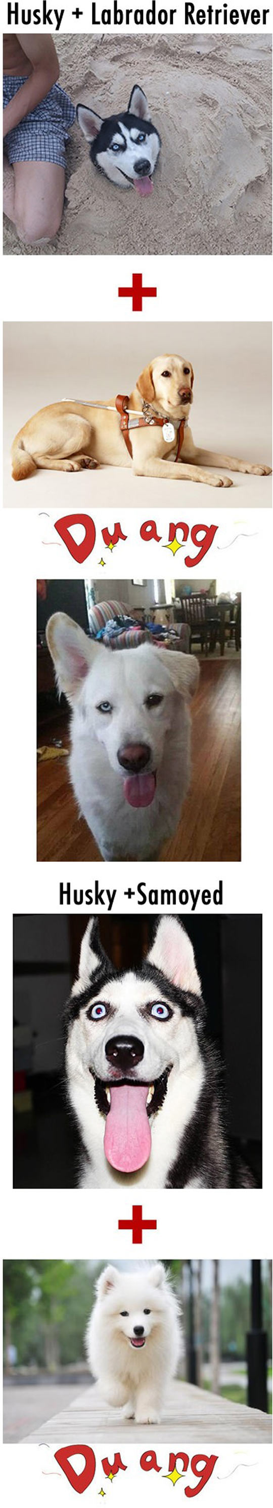 Husky Hybrids Are Beautiful