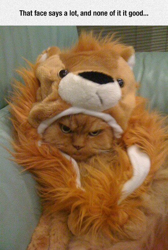 funny-angry-cat-lion-costume