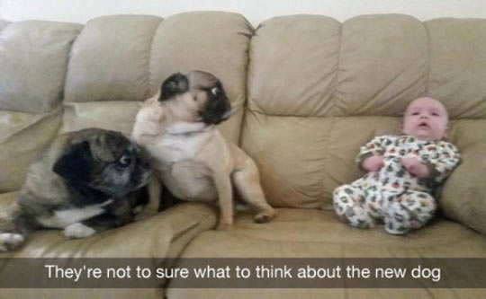 funny-baby-dogs-surprised-couch