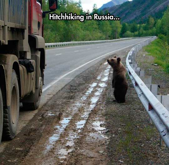 funny-bear-road-truck-hitchhiking