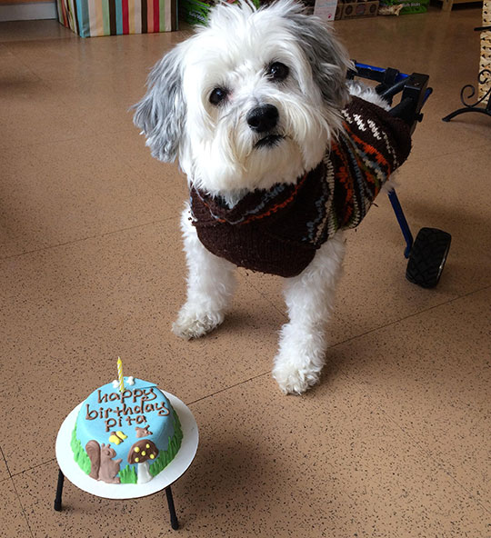 funny-cake-dog-wheelchair-birthday