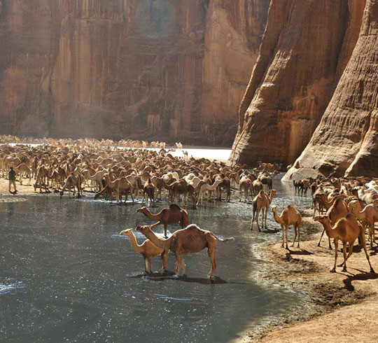 funny-camel-water-drinking