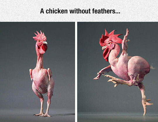 A Fabulous Chicken Without Feathers