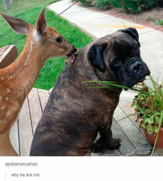 funny-deer-dog-licking-awkward-face