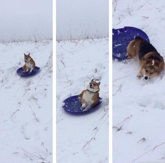 funny-dog-snow-winter-fall-sled