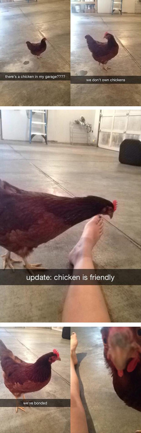 funny-friendly-chicken-garage-leg