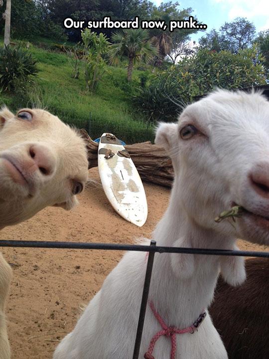 funny-goat-surf-board-camera