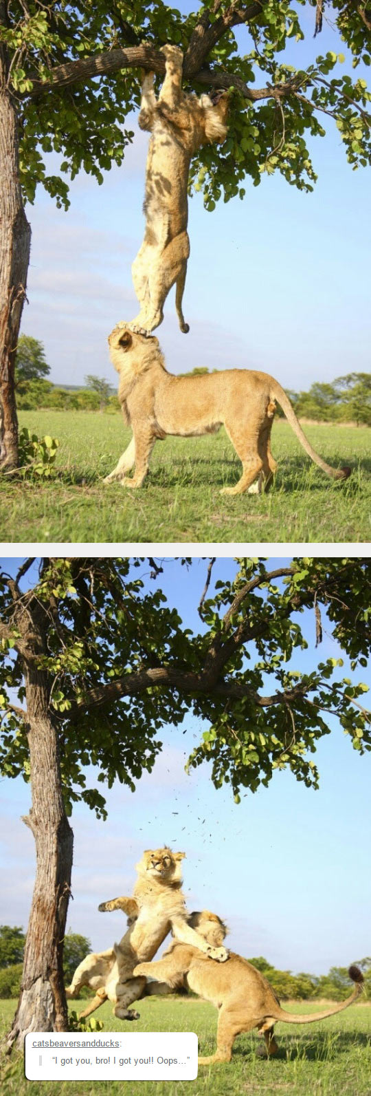funny-lion-tree-scaling-helping-fell