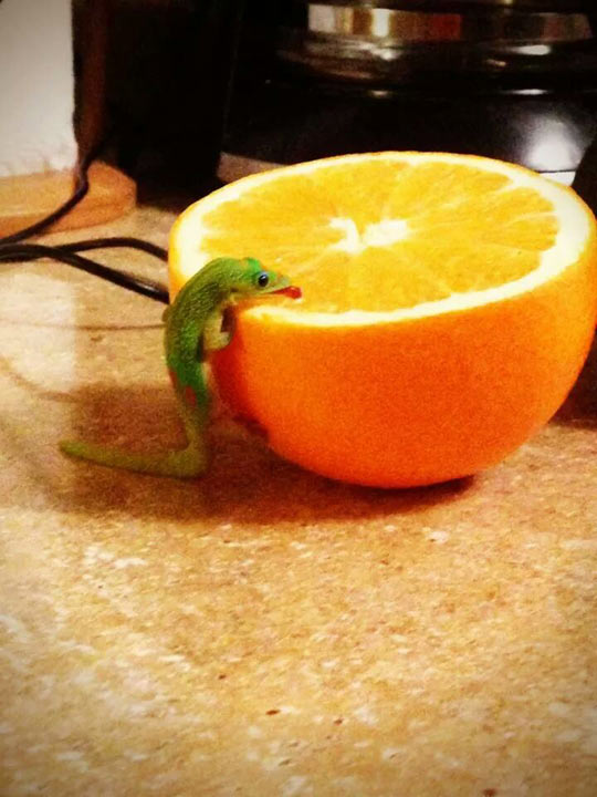 funny-orange-Gecko-eating-kitchen