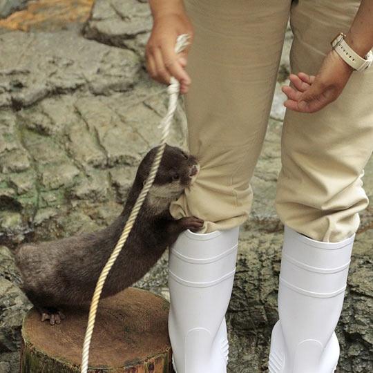 funny-otter-bite-leg-cute-rope