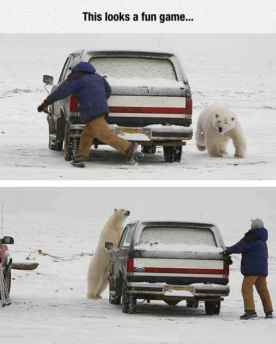 funny-polar-bear-car-man-running