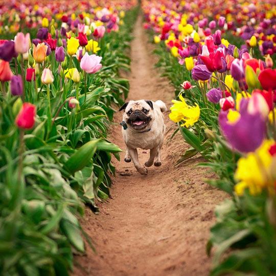 funny-pug-tulip-running-happy