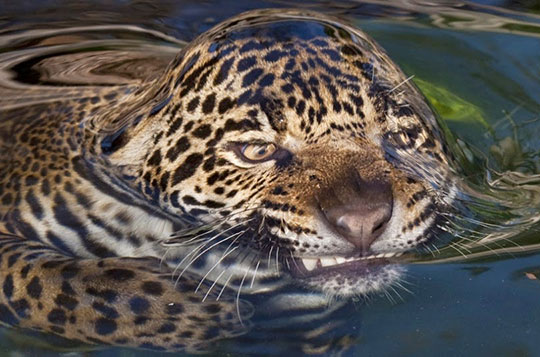 funny-tiger-breaking-surface-tension