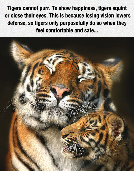 Tigers Can