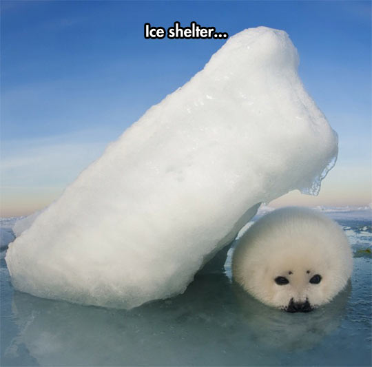 funny-white-seal-under-ice-block