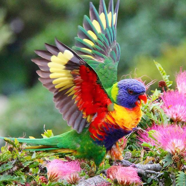 A Rainbow Lorikeet, found in coastal regions across northern and eastern Australia.
