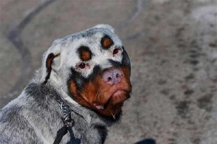 A rottweiler with vitiligo.