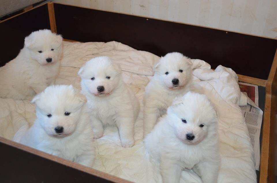 Baby samoyeds look like little polar bears!