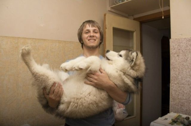 Cute Malamute Puppy Turns into a Giant Fury Beast2