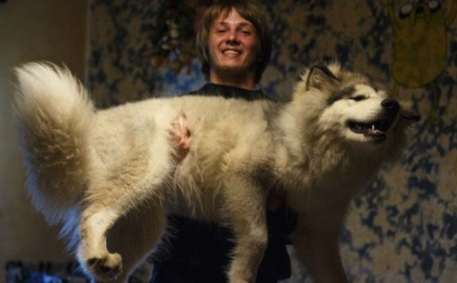 Cute Malamute Puppy Turns into a Giant Fury Beast3