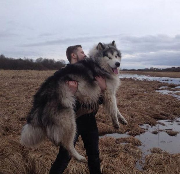 Cute Malamute Puppy Turns into a Giant Fury Beast4