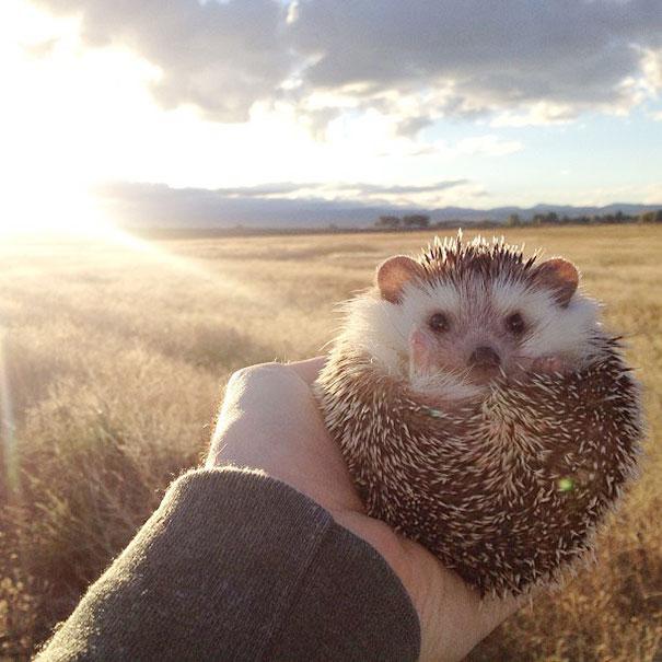 Meet Biddy, The Traveling Hedgehog