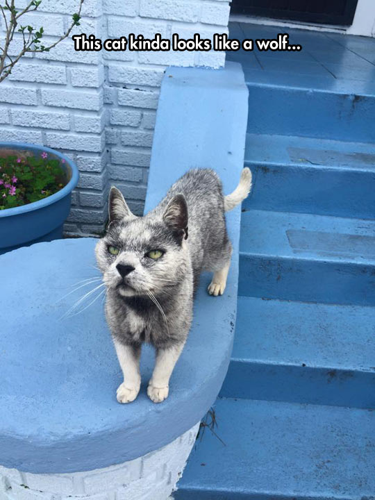 The Wolf-Cat