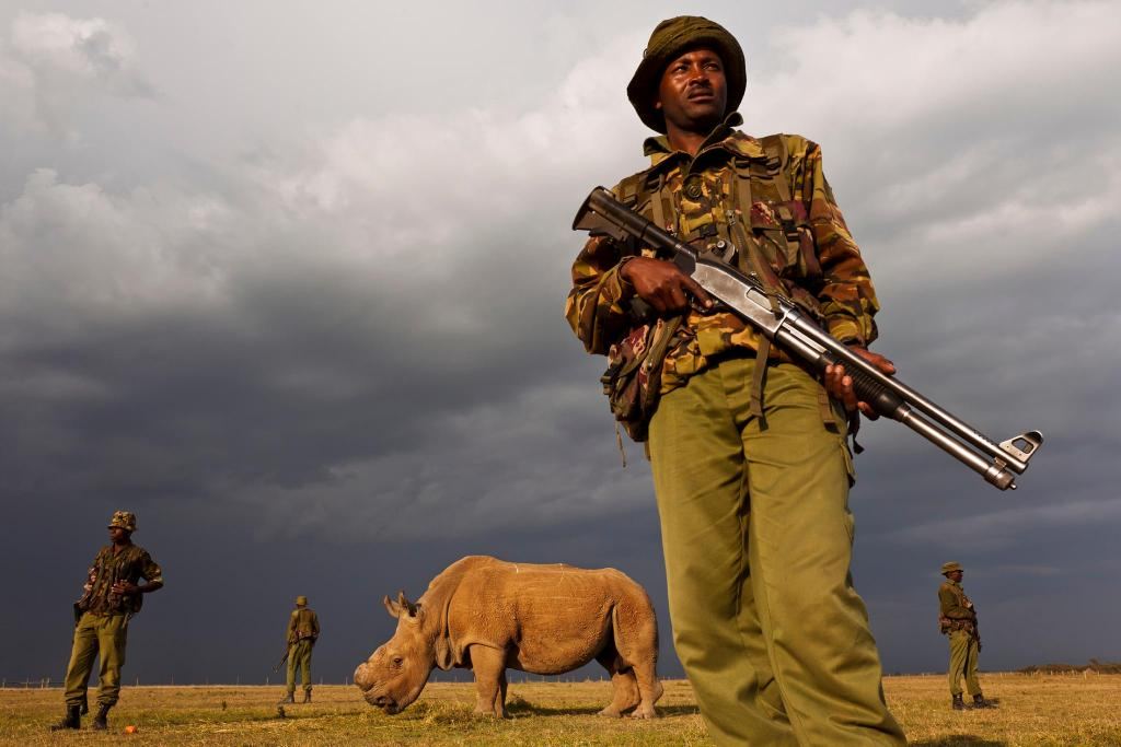 The last remaining northern white rhino male is being guarded by armed rangers around the clock.