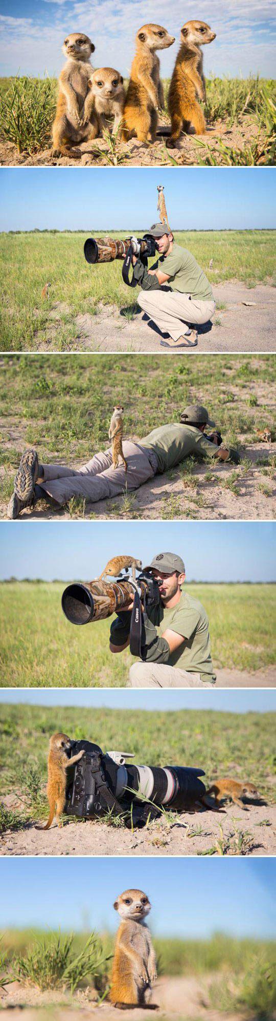 Baby Meerkats In Botswana