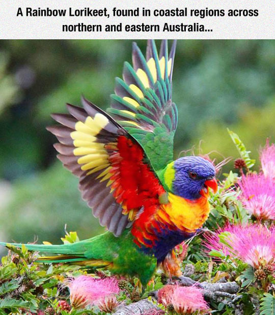 funny-Rainbow-Lorikeet-flower-bird