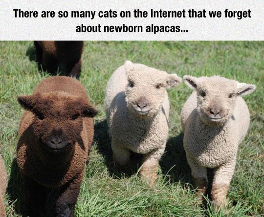 funny-alpacas-newborn-cute-fluffy