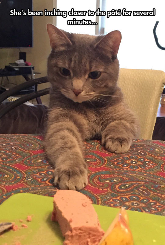 funny-cat-pate-inching-table