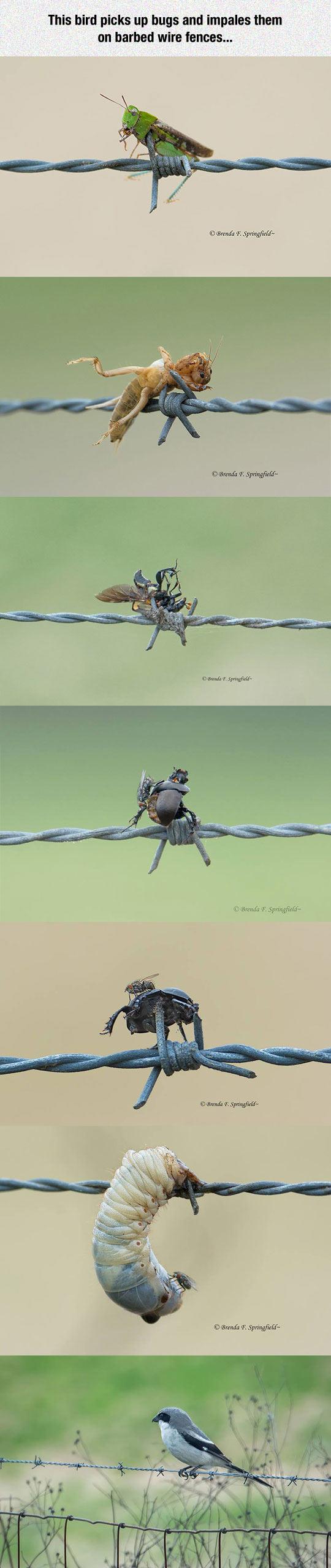 funny-impaled-bug-fence-bird