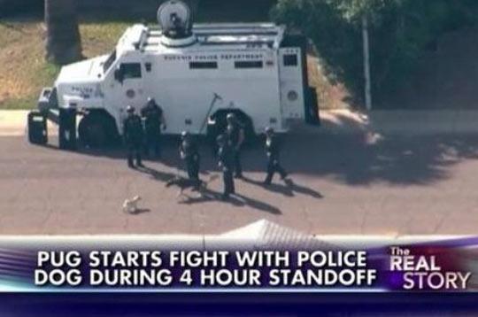 A Pug Standoff