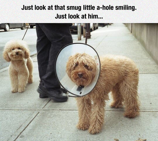 funny-pet-dogs-shame-cone-smiling