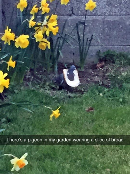 funny-pigeon-back-yard-slice-bread