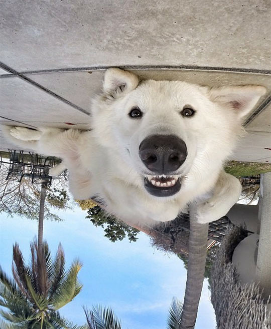 funny-white-dog-nose-upside