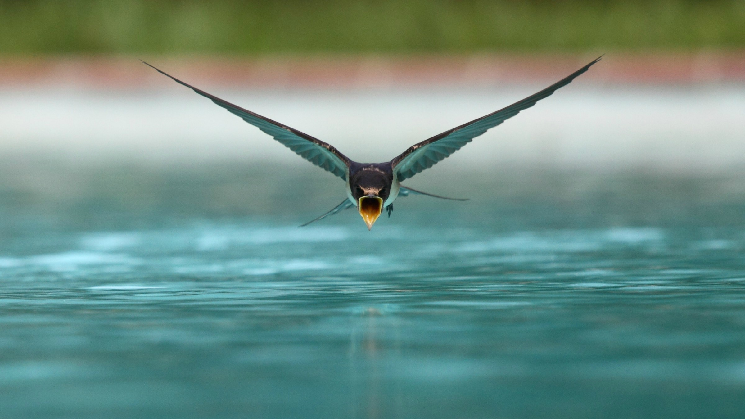 A Swallow Drinking While Flying