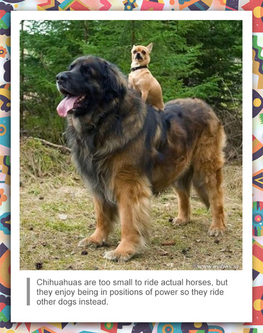 Chihuahua Facts