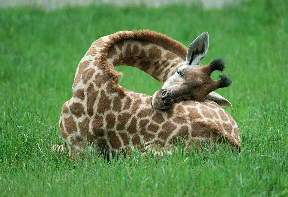 Giraffes sleeping1