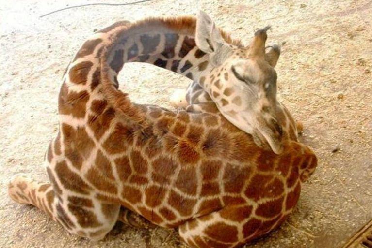Giraffes sleeping2